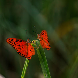 Let's dance by Vanessa Lazzarini - Nature Up Close Other Natural Objects ( butterfly, dancers, butterflies, nature, dance )