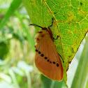 Megalopygid Moth