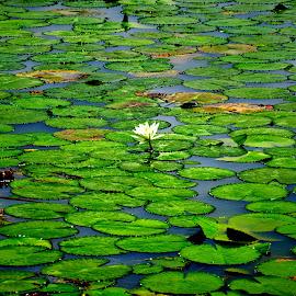 Water Lilies... by Saikat Kundu - Nature Up Close Leaves & Grasses ( water, colourful, green, close up flower, water lily )