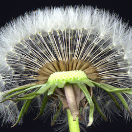 A Dandelion by Steve Edwards - Nature Up Close Other plants ( dandelion, other plants, nature up close, flower )