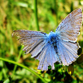 Blue by Norbert Szenográdi - Novices Only Macro ( hungary, butterfly, macro, blue, sevoir )