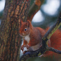 Eurasian Red Squirrel, wet
