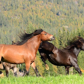 playin around.. by Kristin Smestad - Animals Horses ( stallions, horses, norsk kaldblodstraver, hester, animal )