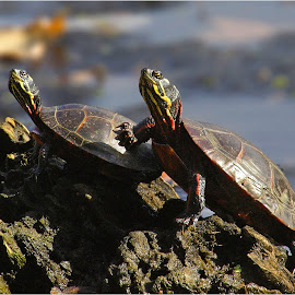 BFFs by Dennis Ba - Animals Reptiles ( friends, bff, painted turtles, portrait )