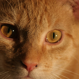 The Cat by Keith Wood - Animals - Cats Portraits ( kewphoto, cat, skittles, close up, keith wood )