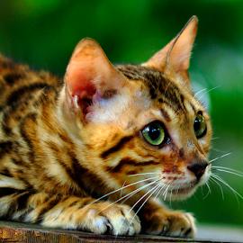 by Cacang Effendi - Animals - Cats Portraits ( cats, cattery, kitten, chandra, animal )