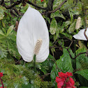 White Flamingo Lily