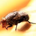 Common Blue Bottle Fly