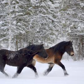 by Kristin Smestad - Animals Horses ( equine, stallions, horses, hester, kaldblodstraver )