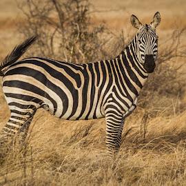 Zebra by Wim Moons - Animals Other Mammals ( masai mara, mamal, kenya, zebra, africa )
