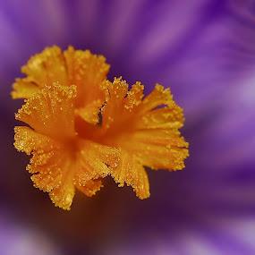 Heart of a Crocus by Liz Crono - Flowers Single Flower ( macro, single, purple, crocus, yellow, flower )