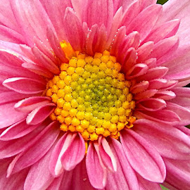 pink flower with yellow center by Amit Mahajan - Novices Only Flowers & Plants (  )