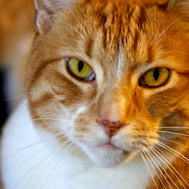 Lars's Portrait by Alec Salisbury - Animals - Cats Portraits ( orange, cat, portrait )