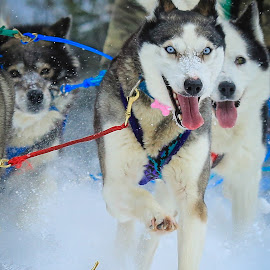 Running the Race by Roberta Janik - Animals - Dogs Running ( sled dogs, dog running, dog sled, husky, siberian, dog, dog sled races,  )