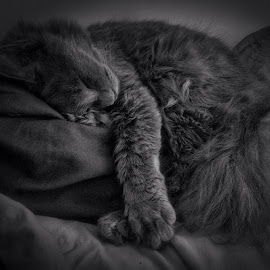 Side planked. by Shahiddan Saidi - Animals - Cats Portraits ( baby, young, animal )
