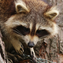 Here For Breakfast by Sherry Thompson - Animals Other ( tree, breakfast, whiskers, scared, raccoon,  )