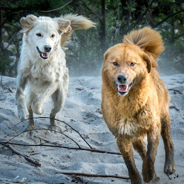 Born to Run! by Shivaang Sharma - Animals - Dogs Running ( dogs, osla, running, trek, himalayas, har, doon, playing, dun, ki, pahari, uttarakhand, animal )
