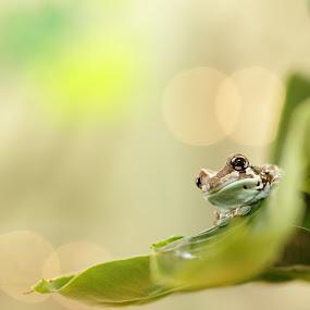 Phrynohyas rephinistrix by Jiří Míchal - Animals Amphibians ( frog, phrynohyas rephinistrix, amphibians )