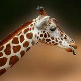 by Dipali S - Animals Other Mammals ( fauna, giraffe, grass, feeding, eating,  )