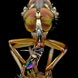 Robberfly by Lim Andy - Animals Insects & Spiders ( macro, insect, robberfly )