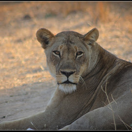 Long Stare  by Ravi Kapadia - Animals Lions, Tigers & Big Cats ( cats, lion, animals, life, tiger, stare, forest, africa, leopard, eyes, animal,  )