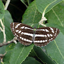 The Pallas Sailer butterfly