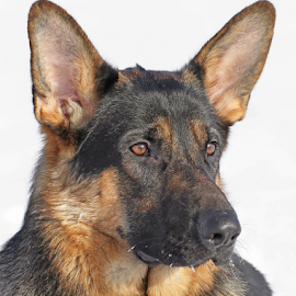 Noble look by Mia Ikonen - Animals - Dogs Portraits ( obedient, beautiful, finland, noble, german shepherd )