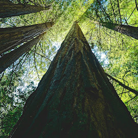 Up the Redwoods by Barbara Brock - Nature Up Close Trees & Bushes ( redwood trees, trees, forest, looking up, woods )