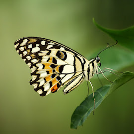kupu cantik by Ilham Afandi - Animals Other