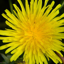 dandylion by Kayleigh Pyle - Novices Only Flowers & Plants ( field, zoomed, weed, yellow, flower )
