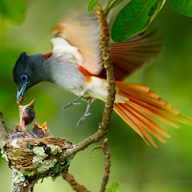 Paradise Flycatcher by Chris Krog - Animals Birds ( bird, flycatcher, paradise )