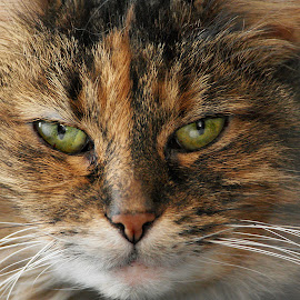 Luna by Deanna Ramsay - Animals - Cats Portraits ( cats, animals, pets, green eyes, tortoiseshell, tabby )