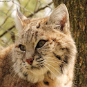 Bobcat-lynx hybrid
