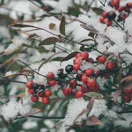 Snowy Holly by Chris Wheeler - Nature Up Close Trees & Bushes ( holly, cold, snow, bush, leaves )