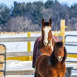 mama and her foal by Jason Lockhart - Animals Horses ( field, farm, winter, cold, horses, snow, milton wisconsin, foal,  )
