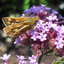 Fiery skipper (female)