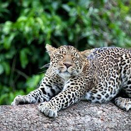 Sleepy leopard by Rob Dolton - Animals Lions, Tigers & Big Cats ( kenya, africa, leopard, bigcat )