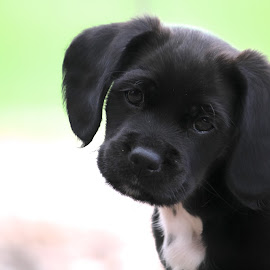 8 wk old Cinder... Cockerspaniel mix by Dawn Henderson - Animals - Dogs Puppies (  )