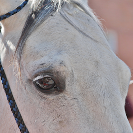 The eyes of horses challenge by Priscilla Renda McDaniel - Animals Horses ( horse, american flag, white, eye,  )
