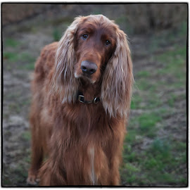 My Muse by Ann J. Sagel - Animals - Dogs Portraits ( irish setter, phantom, ann sagel )