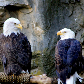 Pals by Leah Zisserson - Animals Birds ( injured, captive, rescued, bald eagles, eagles, birds,  )