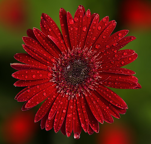 by Charliemagne Unggay - Flowers Single Flower ( water, red, flower, water drop, droplets )