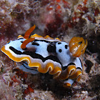Michael's Chromodoris