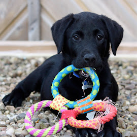 Little Murphy by Chrissie Barrow - Animals - Dogs Puppies ( pet, pup, toys, ears, puppy, gravel, labrador, dog, nose, black, colours, eyes,  )