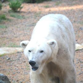 Beautiful polar bear! by Carolyn Parks - Animals Other