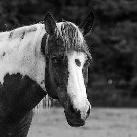 by Jeannie Meyer - Animals Horses ( bsl )