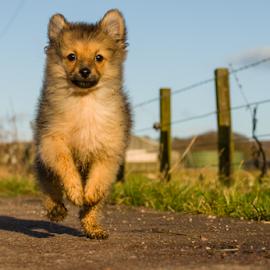 I AM HUGO 3 months by Michael Sweeney - Animals - Dogs Puppies ( natural light, scotland, nikon d 800 puppy, f9, 2014, joy, road, michael m sweeney, run, hugo, farm, out doors, joyfull, nikon d800, pomerainam, countray, 70mm, nikon, light, i am hugo )