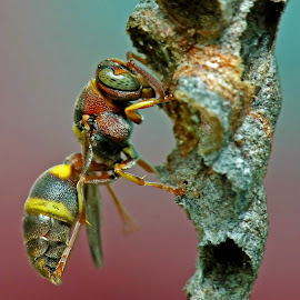 Wasp by Kwoh Lk - Animals Insects & Spiders (  )