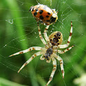 European garden spider with prey