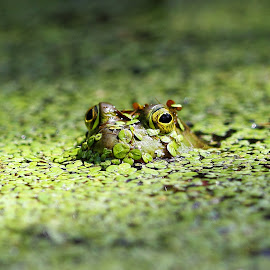 Really, I'm a Prince! by Dennis Ba - Animals Amphibians ( frog, amphibian )